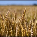The Alternative Grains to Wheat