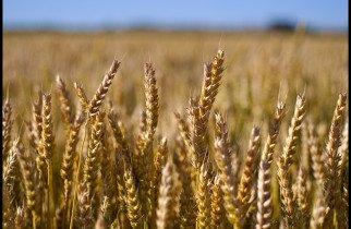 Wheat flour alternatives