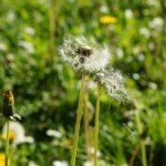 Helpful Remedies for Hay Fever & Allergy Sufferers