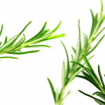 The benefits of rosemary tea