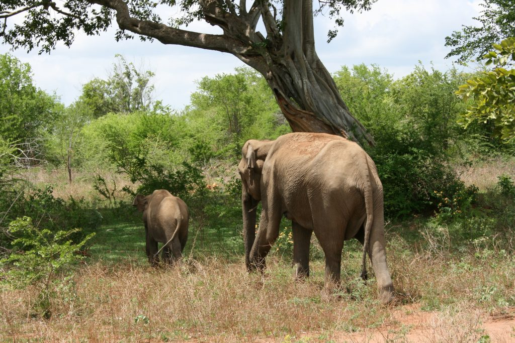 Elephants in habitat