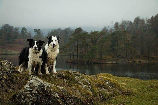 Lake district dogs