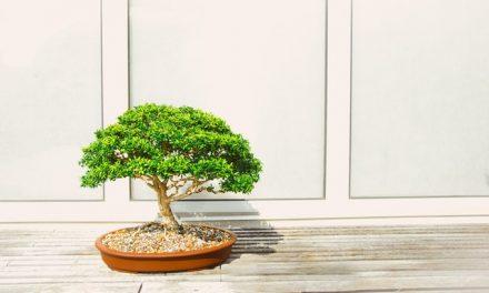 A Brief Guide to Bonsai Care